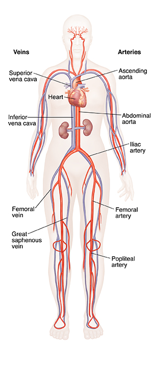 Front view of female body showing heart, arteries, and veins.