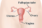 Female reproductive system including fallopian tube, ovary, uterus and vagina.