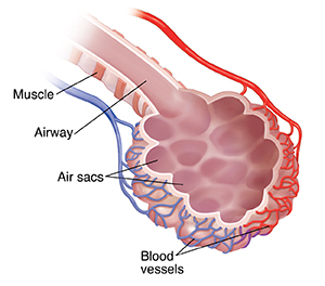 Bronchiole and alveolar sac with blood supply.