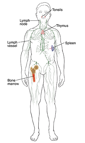 Front view of male outline showing immune system including bone marrow, tonsils, lymph system, spleen, and thymus.