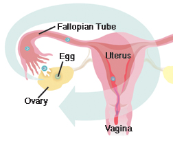 Front view cross section of uterus, vagina, fallopian tube, ovary, and egg. Arrow shows path of egg from ovary to lining of uterus.